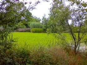 شالیزارهای برنج حالا دیگر سبز هستند